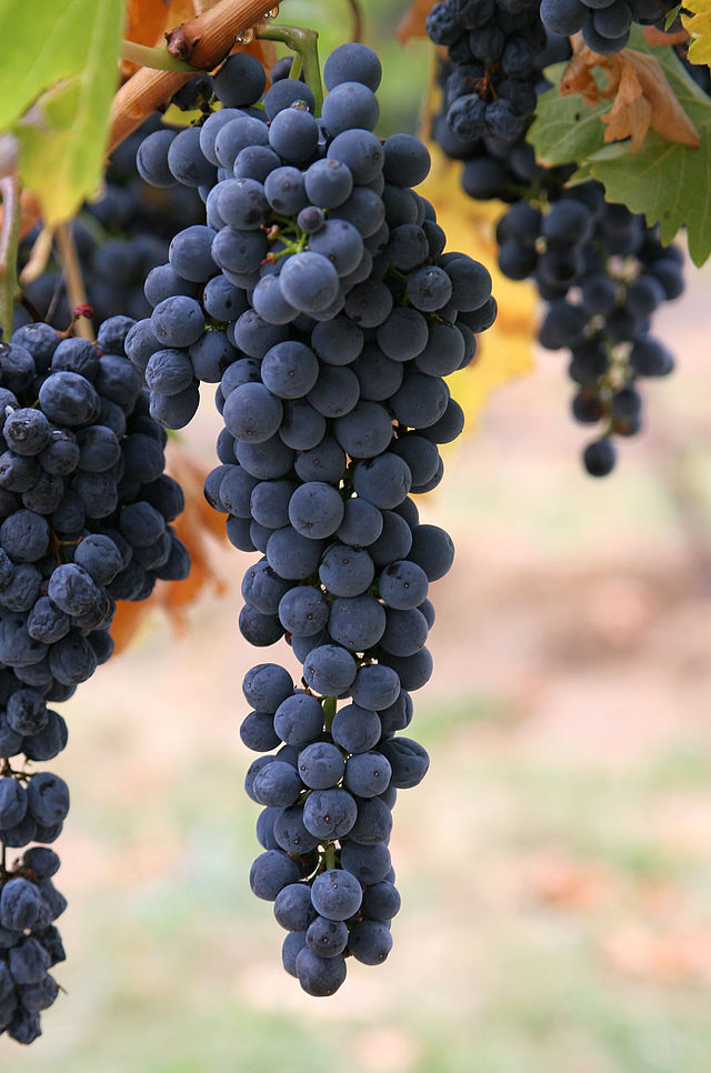 640px-Wine_grapes03