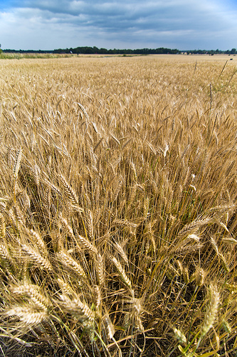 Barley field, Burs Källunge, Gotland
